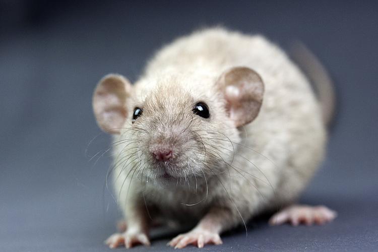 dwarf rat