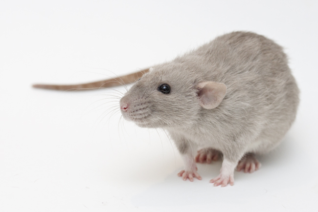 russian burmese rat