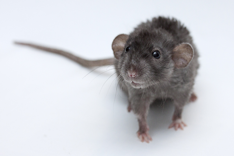 Besoin de photo de vos rats pour mon dossier ! 010