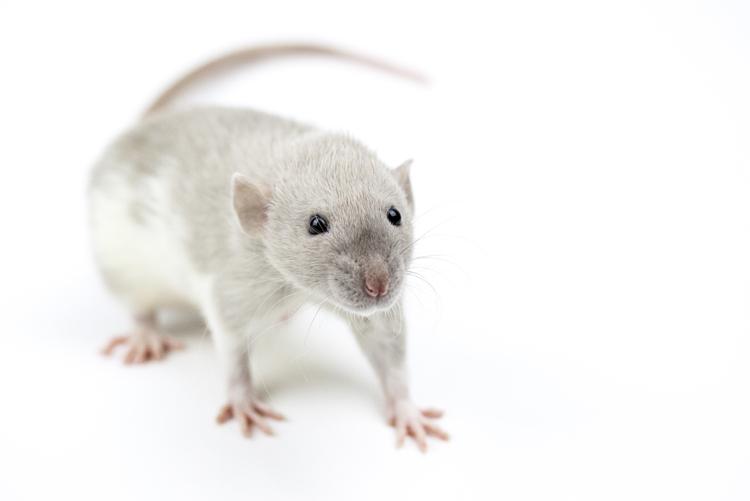 Qui a un rat Velours? Vox2